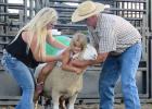 Mutton Busting is part of the events that is held during the Gonvick Rodeo. Scott Fawver, owner of the sheep, brings them for the event and helps out for the crowds delight.